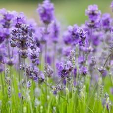 Connaissez vous les plantes mellifères ?
