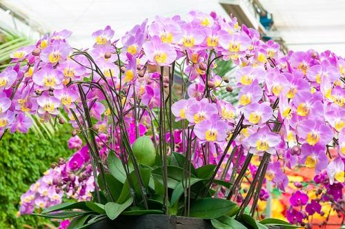 Comment arroser ses orchidées pour qu'elles restent en fleurs