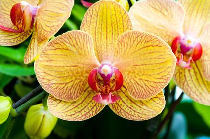 Acheter une orchidée solide en magasin